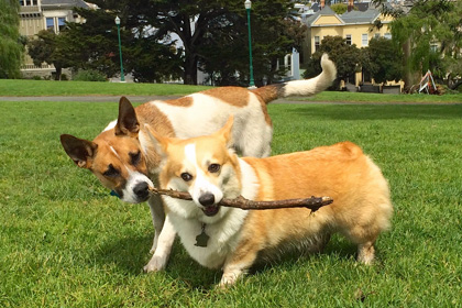 Dogs playing in Alamo Square, San Francisco